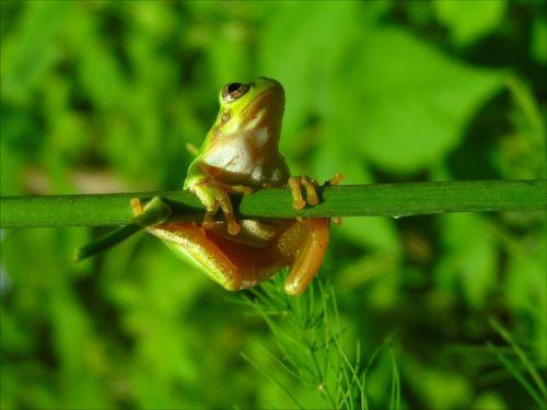 6月の雨蛙_R